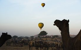 pic of camel-cart  - Camels with hot air balloons in the background in Pushkar Camel Fair - JPG
