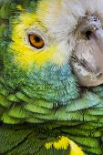 stock photo of green-winged macaw  - Green bird plumage Harlequin Macaw feathers nature texture background - JPG