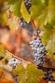 image of grape-vine  - Lush Ripe Wine Grapes with Mist Drops on the Vine Ready for Harvest - JPG