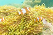 image of clown fish  - Group of clown fish Nemo in anemone with coral reef colorful host anemone in Thailand - JPG