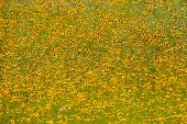 pic of cosmos flowers  - Field of colorful cosmos flowers - JPG