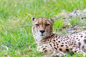 Постер, плакат: Deep Stare From A Cheetah