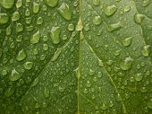 picture of rain-drop  - honeydew melon leaf after the rain - JPG