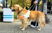 stock photo of seeing eye dog  - Trained seeing eye dog - JPG