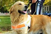 stock photo of seeing eye dog  - Close up view of trained assistant dog - JPG