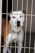 foto of pit-bull  - pit bull sits in his cage at the animal shelter - JPG