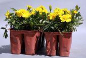 stock photo of musky  - Yellow Merigolds  - JPG