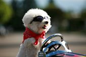 stock photo of bichon frise dog  - a bichon frise dog wears her red bandana and goggles as she drives her hot rod pedal car around town - JPG