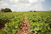 picture of sweetpea  - string bean fields - JPG