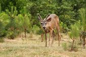 picture of black tail deer  - a young male  - JPG