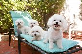 picture of bichon frise dog  - beautiful pure breed bichon frise dogs smile as they pose for their portrait while out side on a lounge chair - JPG