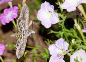 foto of hornworms  - Beautiful Tomato Hornworm Moth feeding on a Petunia - JPG