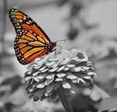 Monarch Butterfly, color on black and white