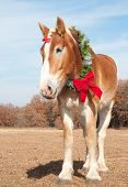 picture of gentle giant  - Gorgeous Belgian Draft horse with gentle eyes wearing a wreath with a red bow - JPG