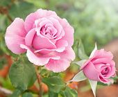 stock photo of beautiful flower  - Beautiful pink rose in a garden - JPG