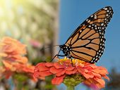 picture of butterfly flowers  - Monarch butterfly feeding on an orange Zinnia in a garden - JPG