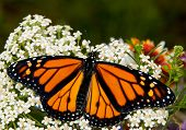 Danaus plexippus, Monarch butterfly, on a white Yarrow flower in spring