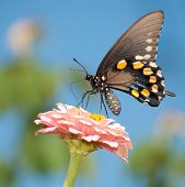 Green Swallowtail butterfly feeding on pink Zinnia against bright blue sky