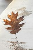 Oak Tree Leaf On White Wooden Background. Autumn Leaves Collection. Closeup View Of Beautiful Oak Le poster