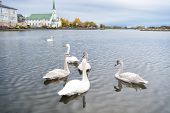 Swans In Pond In Reykjavik Iceland. Swans Gorgeous On Grey Water Surface. Animals Natural Environmen poster
