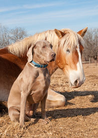 picture of gentle giant  - Weimaraner dog sitting next to his resting friend - JPG