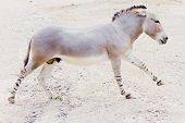 image of horses ass  - Closeup of a somali wild ass in motion - JPG