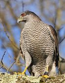 picture of goshawk  - Goshawk on the branch a tree in the forest - JPG