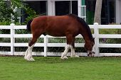 picture of clydesdale  - A lovely brown clydesdale eating by the fence - JPG