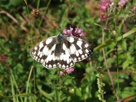 stock photo of fescue  - Butterfly of flowery grasslands - JPG