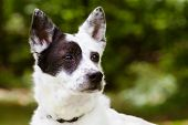 stock photo of heeler  - Portrait of blue heeler or Australian cattle dog with space for copy - JPG