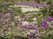 stock photo of anza  - Wildflowers bloom in the arid Anza Borrego desert - JPG