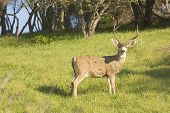 stock photo of blacktail  - California Blacktail buck watching for danger intently - JPG