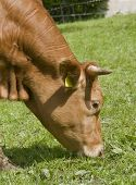 pic of feedlot  - sunny rural scenery including a grazing brown cow portrait - JPG