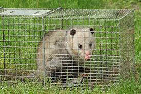 stock photo of opossum  - Virginia opossum Didelphis virginiana in an animal trap - JPG
