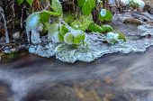 picture of icicle  - Frozen blackberry leaves icicles and milky stream - JPG