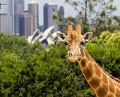 foto of cbd  - Giraffes in Taronga Zoo with a magnificent view of the skyline of the CBD of Sydney in Australia  - JPG