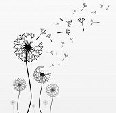 image of blowing  - Seven dandelions - JPG