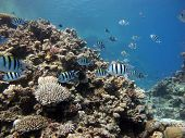 picture of sergeant major  - Sergeant major damselfish hunting for food on coral reef - JPG