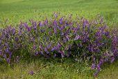 picture of meadowsweet  - Purple flower vetch  - JPG