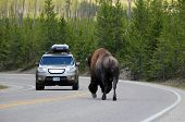 picture of encounter  - Bison  - JPG