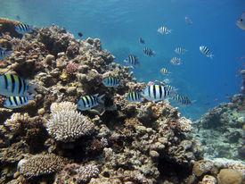 stock photo of damselfish  - Sergeant major damselfish hunting for food on coral reef - JPG