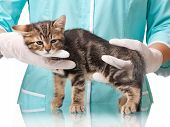 picture of anesthesia  - The small kitten recovers after an anesthesia on hands at the veterinarian - JPG