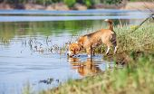pic of bloodhound  - Beagle dog on the forest river coast - JPG