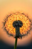 image of blown-up  - blown dandelion flower against the setting sun