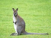picture of wallaby  - Red - JPG
