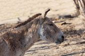 stock photo of headstrong  - close portrait of a donkey a summer day - JPG