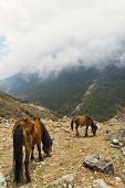 foto of feeding horse  - Horses feeding in cloudy mountains at Langtang Valley - JPG