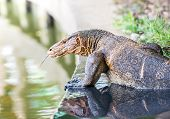 stock photo of giant lizard  - The wildlife of giant water monitor lizard - JPG