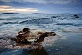 stock photo of sea cow  - Early morning sea coast landscape with cow skull - JPG