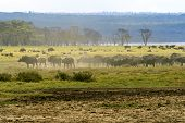 pic of cape buffalo  - Cape Buffalo in Lake Nakuru National Park in Kenya - JPG